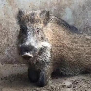 大型野豬扶貧政策 農村小野豬 本忠養殖 野豬幼崽養殖 純種小野豬養殖場出售價格