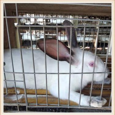 宠物 伊拉肉兔 小白灰兔活体 值得购买